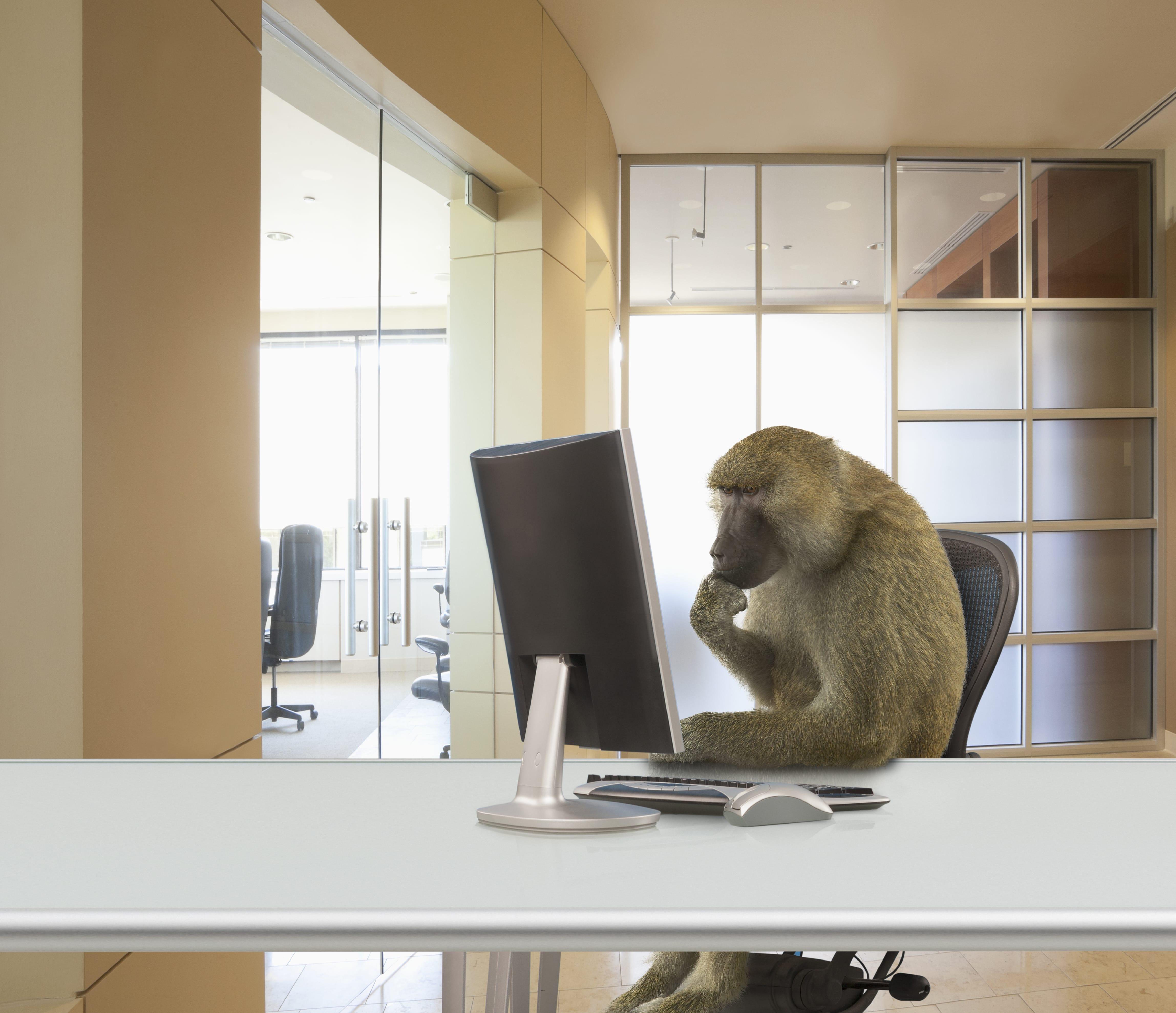 Aufnahme eines Affen, der an einem Schreibtisch sitzt und auf einen Bildschirm schaut.